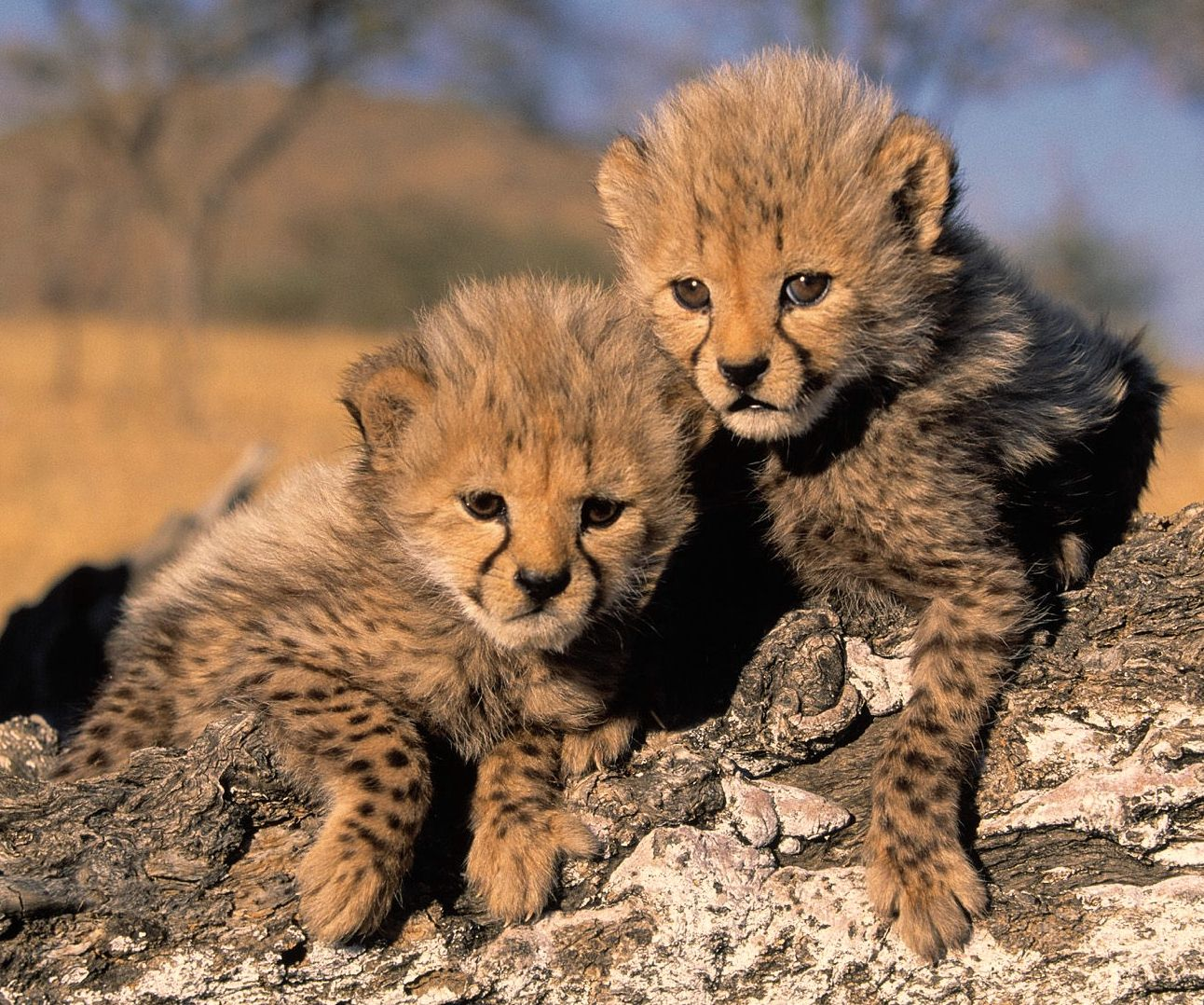 Animals Plants Rainforest: Baby cheetah facts and information