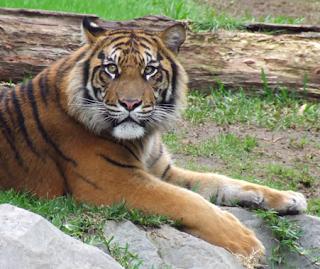 Harimau Sumatera yang Terancam Punah