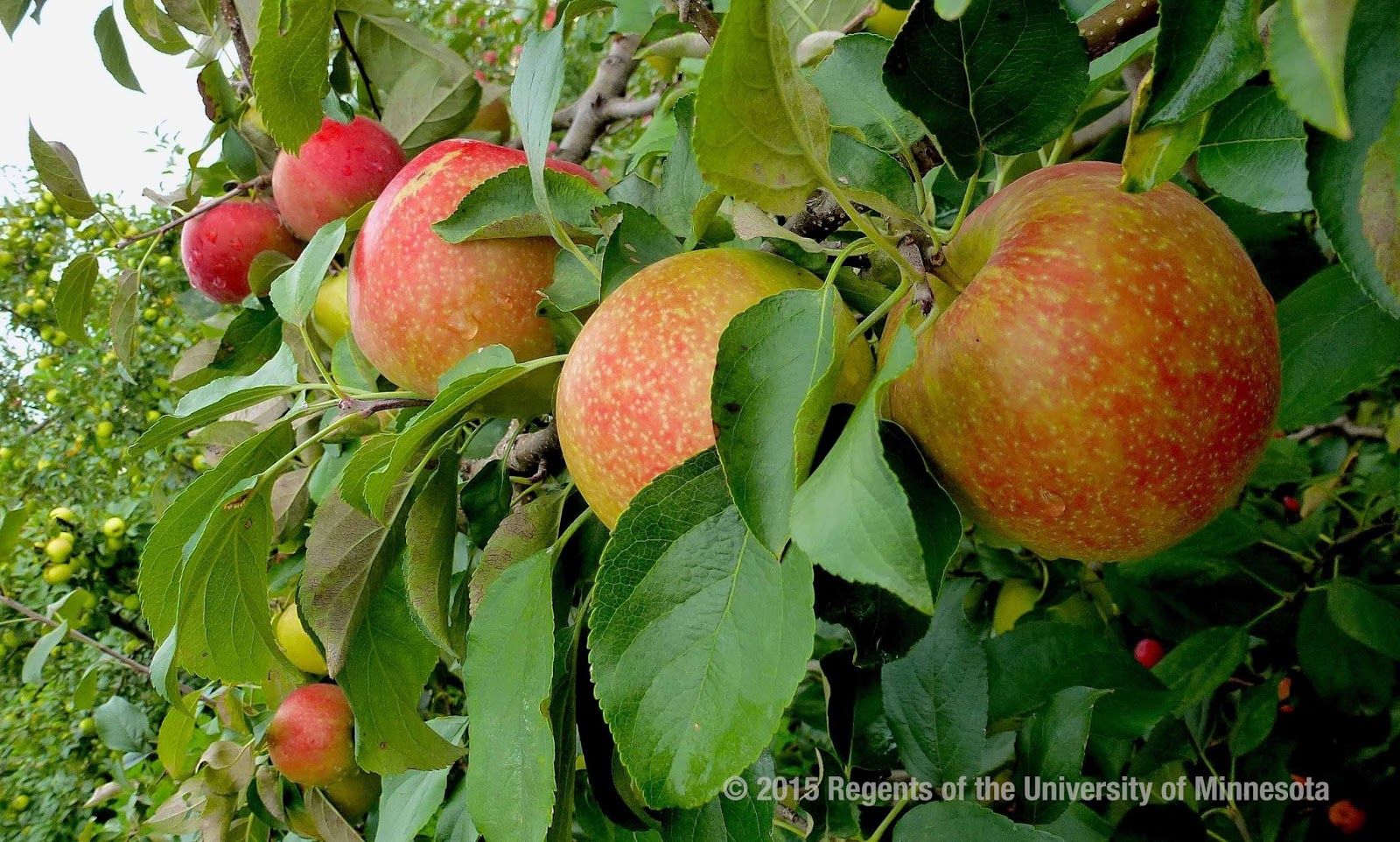 Images Of Apple Trees With Fruits