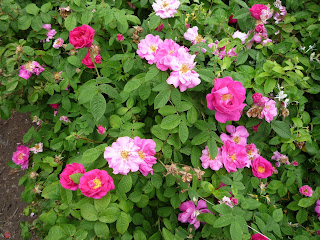 rosa gallica Officinalis and Quatre Saisons