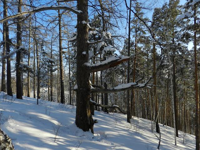 Причудливое дерево по пути на вершину Сугомака