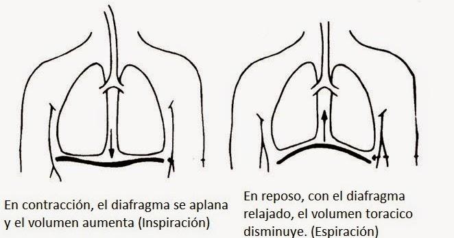 La Respiracion En El Ser Humano: Biokurata: Respiración En El Ser Humano; Anatomía