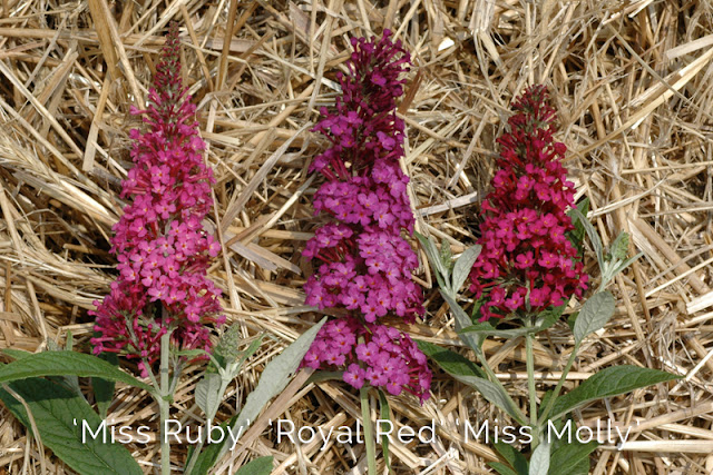Red Buddleia color comparison