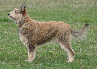 Berger Picard-pets-dogs-dog breeds