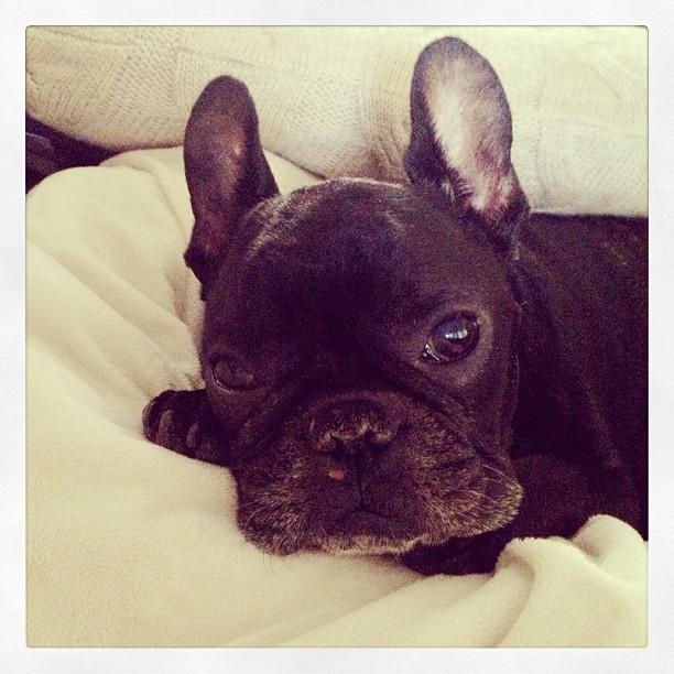 LeRoy, black french bulldog