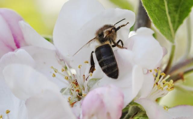 Une abeille butine sur une fleur de pommier