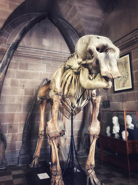 Elephant skeleton in the Edinburgh University Anatomical Museum