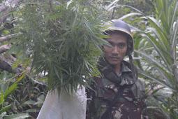 Tangkap Pengedar di Wamena, Yonif 756 Temukan Ladang Ganja di Wolo