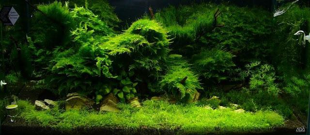rêu Java rất được ưa chuộng vì xanh đẹp, dễ trồng