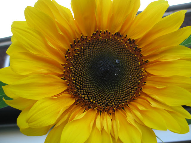 Girarol Sunflower Wallpapers