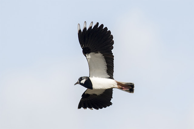 More Flight shots of Lapwing