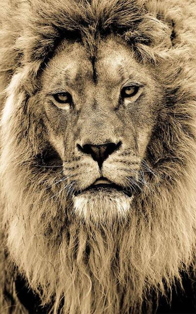 Animals, Sepia Portraits of Big Cats