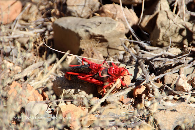 A pair of red coloured locusts sitting on a rocky floor.