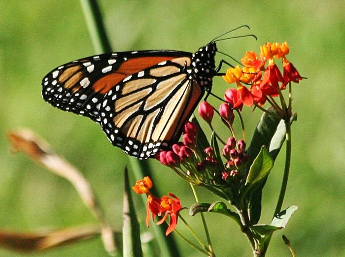 relationship between monarch butterflies and milk weeds