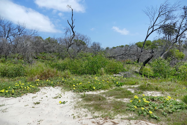 Vegetation Pflanzen Natur Moreton Island Middle Road Insel