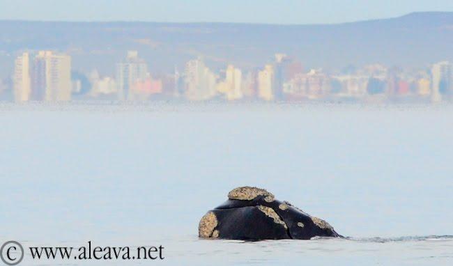 avistaje de ballena en Puerto Madryn, Playa El Doradillo