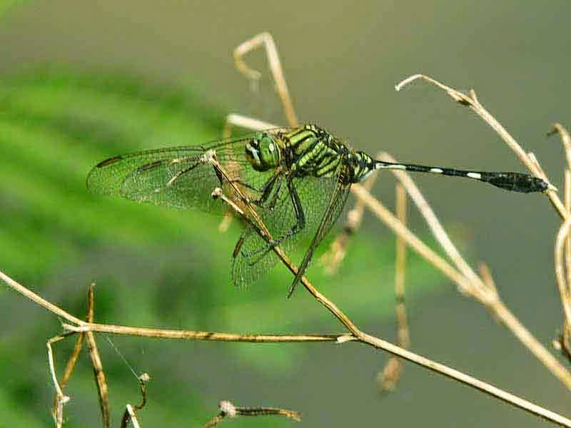 clear-winged dragonfly, black and green