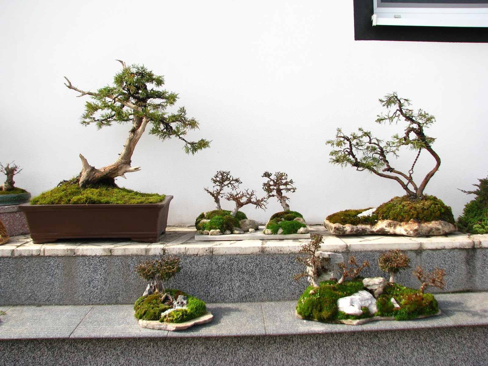 Mimos Penjing Heaven Wiring Wisteria Bonsai Freshly Repotted Literati Last Years Airlayer That Was Separated In The Middle Of Summer And Planted With Just A Few Roots Pot Supported
