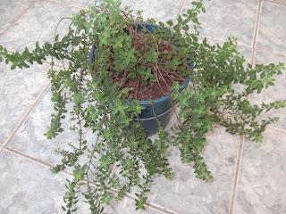 temperos e ervas