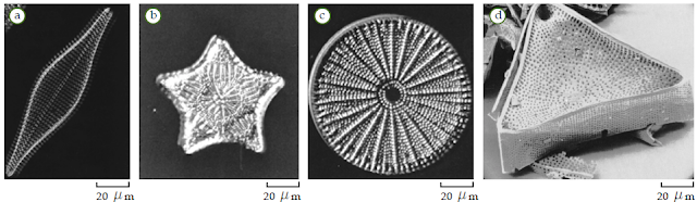 Contoh Bacillariophyta (Diatom)