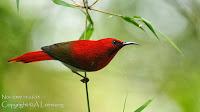 Burung Madu Ekor Merah ( Aethopyga temminckii / Temminck )