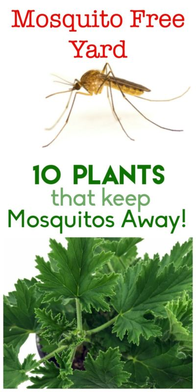 plants that keep the mosquitoes away everything about garden