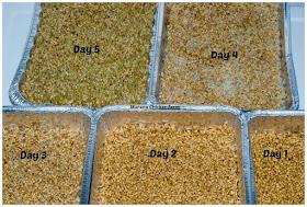 growing fodder, chicken food
