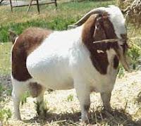 Jenis-jenis kambing lokal penghasil daging yang sangat baik dan cocok untuk dijadikan kambing potong