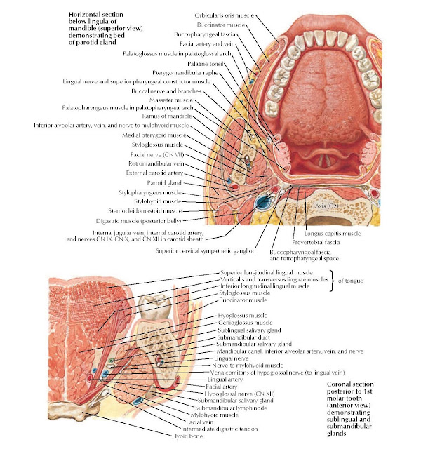 Tongue and Salivary Glands: Sections Anatomy