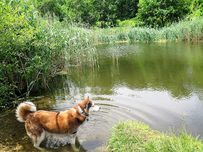Icy exploring the pond on the grounds of dog friendly Coindre Hall