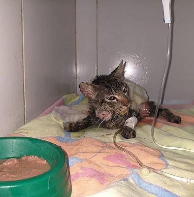 Morre gata que teve pele arrancada e rabo cortado em Maceió