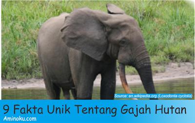 Fakta unik gajah hutan afrika
