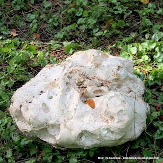 purchawica olbrzymia, purchawka, grzyb, grzyby jadalne, workowce, mykologia,