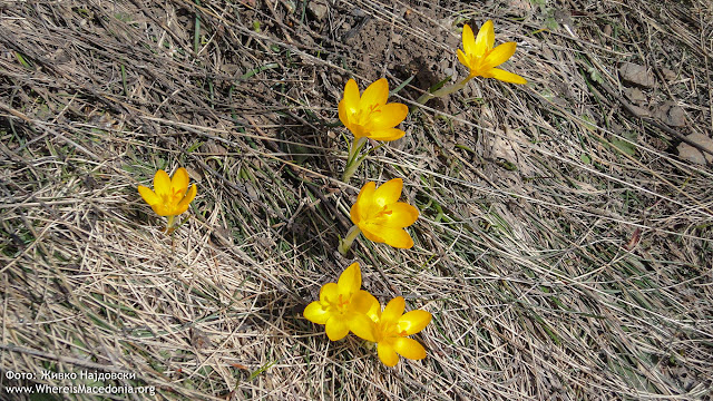Yellow Crocus plant - Medicinal Plants in Macedonia