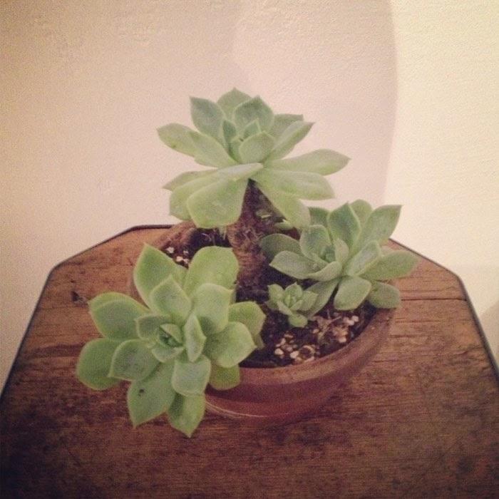 アンティークのスツールに置いたエケベリア科の多肉植物