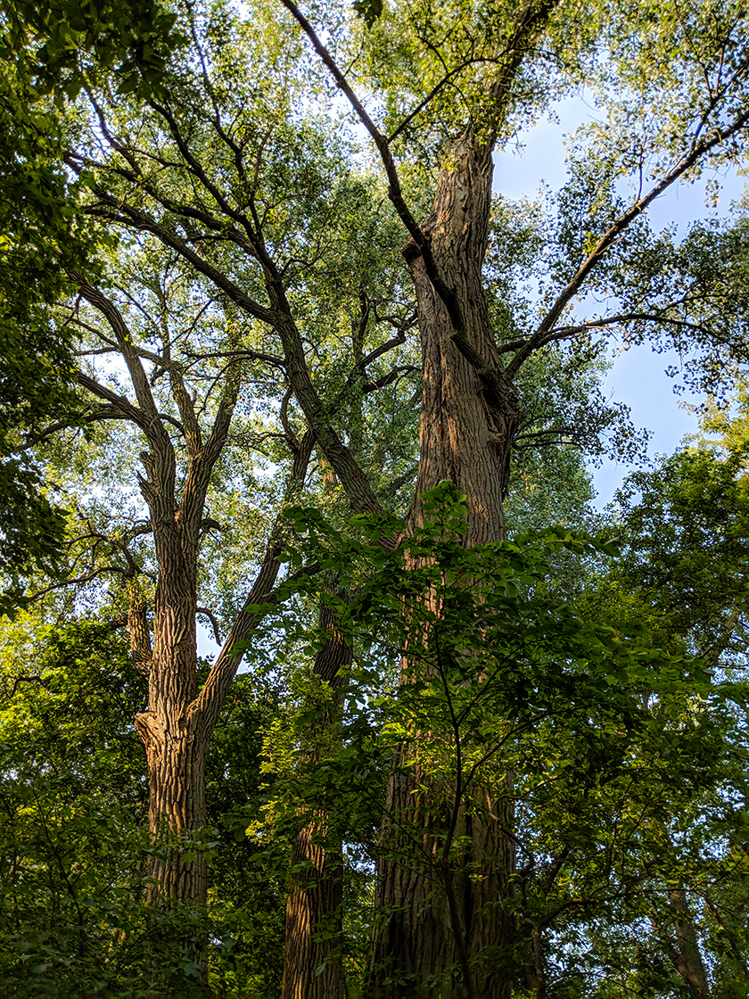 Cottonwood Tree at Governor's Island in Madison WI