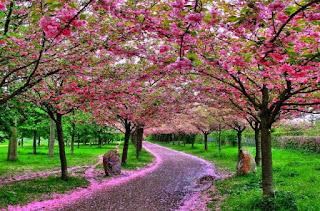 Gambar Bunga Sakura Paling cantik di Jepang 8000