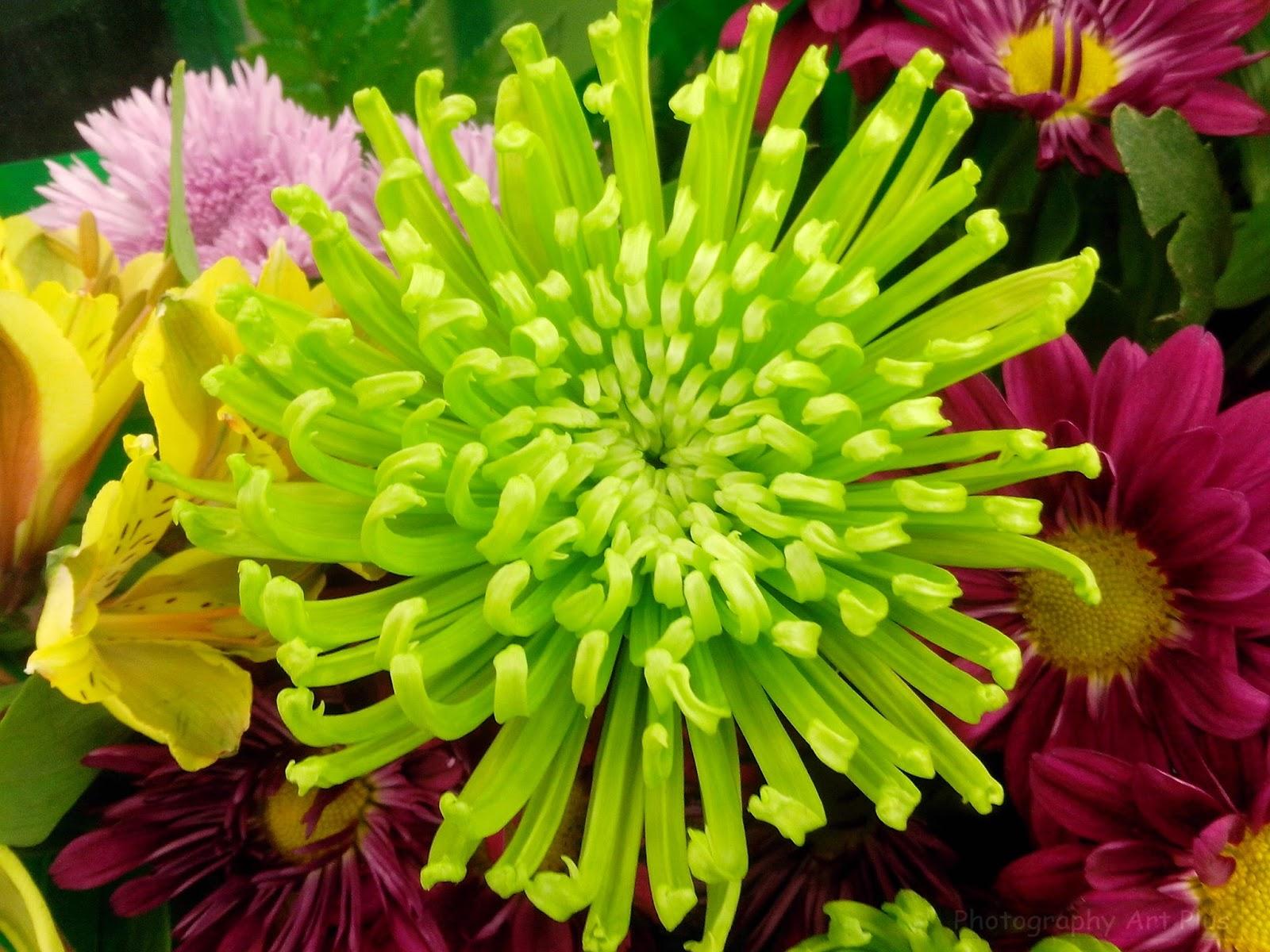 Tarot Sin Secretos: Plantas Mágicas: El Crisantemo