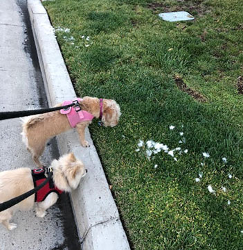 Astronomer Assistants Ruby and Danny miss eclipse but see cottontail fur left by coyote  (Source: Palmia Observatory)