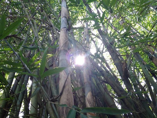 kebun bambu clapar kulon