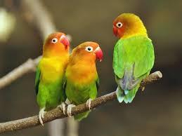 Cara Meningkatkan Kekuatan vokal, Napas dan Mental lovebird