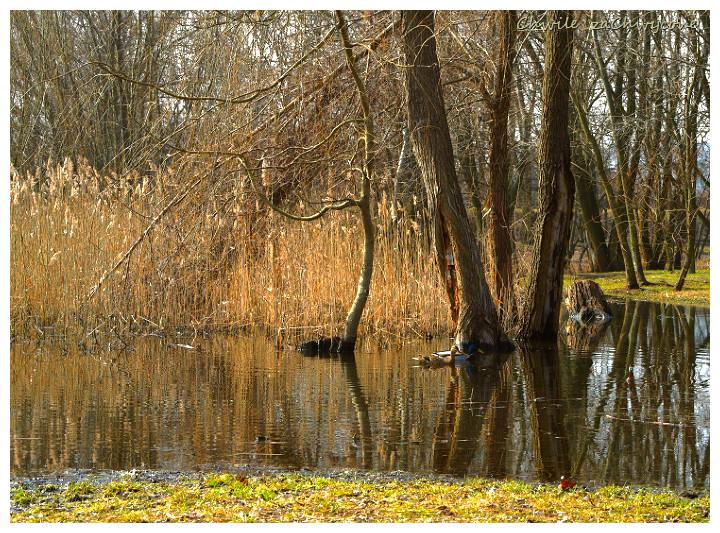 trzcina kaczki na wodzie, wiosna w parku