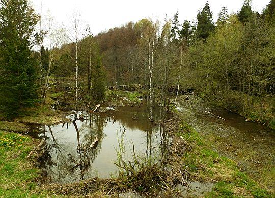Żeremia bobrów w Solince.