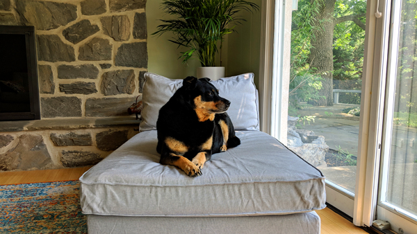 image of Zelda the Black and Tan Mutt sitting on a chase in the sunroom near a window, looking out into the backyard
