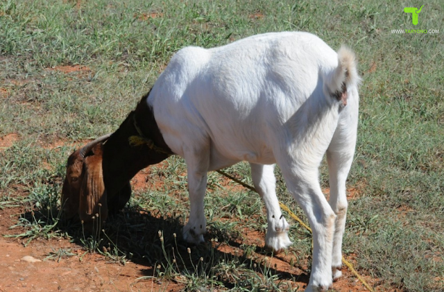 Cara Mempercepat Birahi Pada Kambing atau Domba