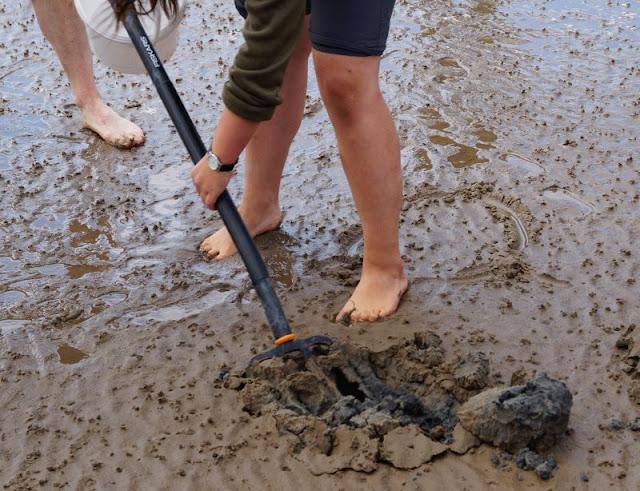 Im Watt in Dänemark: Unser Besuch im Vadehavscentret samt Wattenmeer-Tour. Wenn man den Meeresboden umgräbt, findet man schnell Wattwürmer im Schlick.