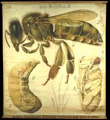 Ho un'ape (marocchina) per la testa