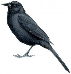 Forbes Blackbird
