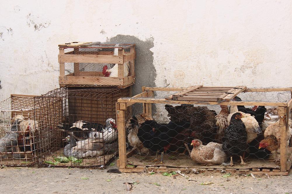 galinhas patos venda