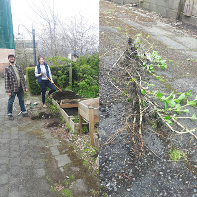 Greg and Michelle clearing raspberry roots - and the long mint rhizomes pulled from the herb bed!